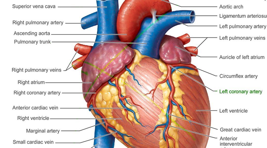 Penjelasan Sederhana Tentang Pembuluh Darah Koroner